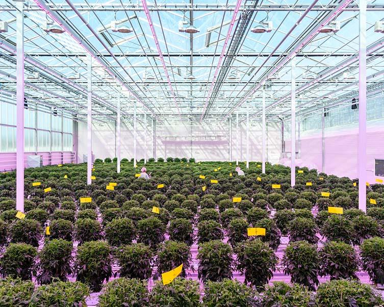Medicinal cannabis greenhouse Aurora Nordic, Denmark