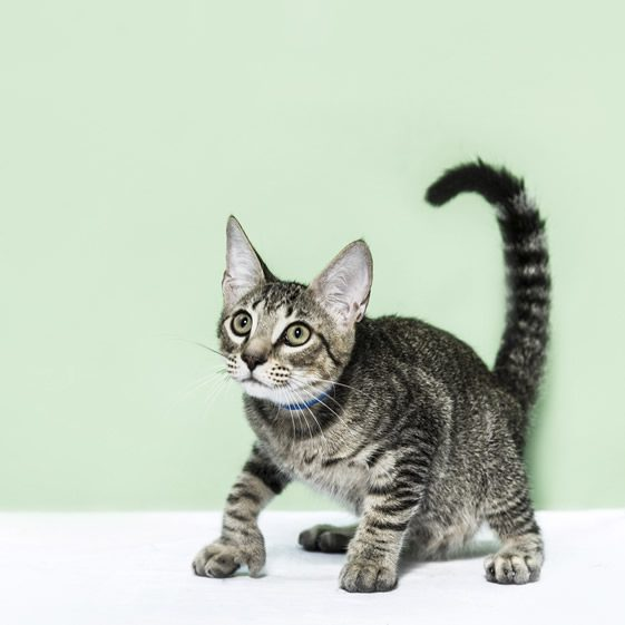 Ernest Hemingway's Mutant Cats!
