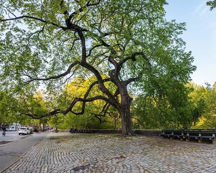 American Elm, Ulmus americana Central Park West, Manhattan