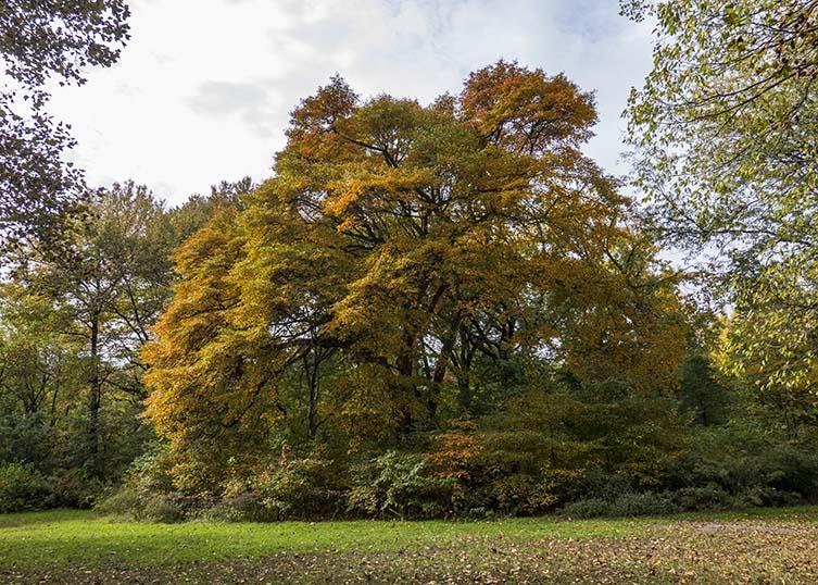 Black Tupelo Nyssa sylvatica Central Park Ramble, Manhattan