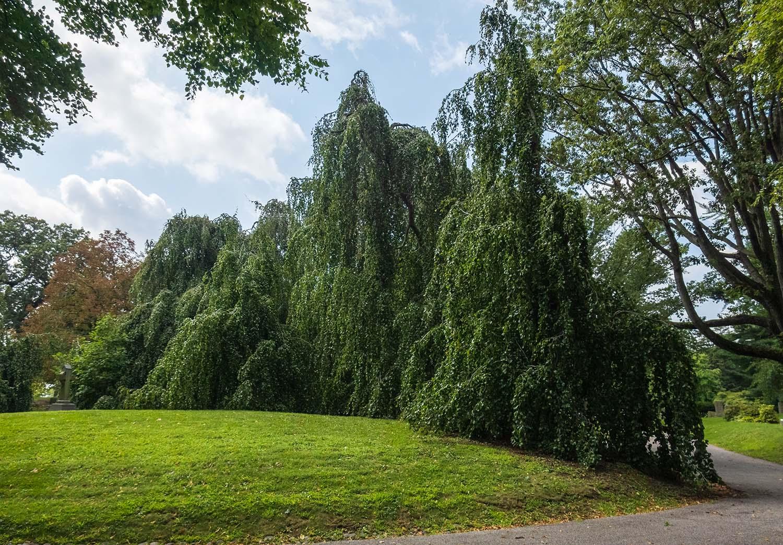 Weeping Beech Fagus sylvatica Pendula Green-Wood Cemetery, Brooklyn