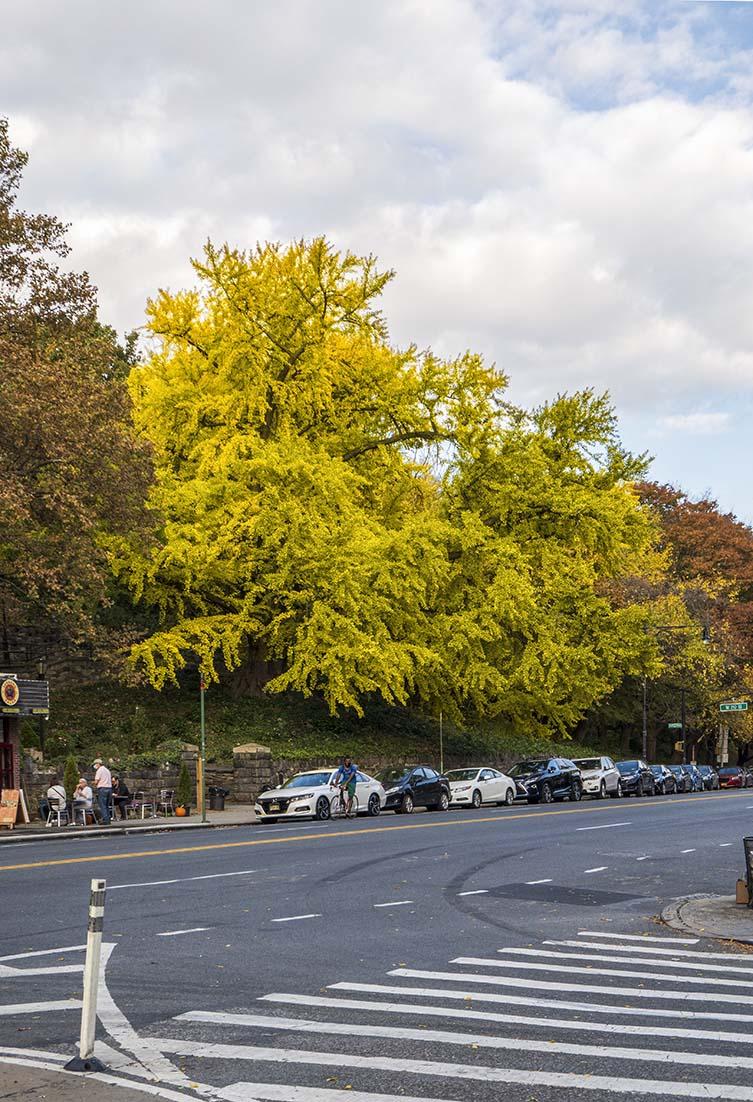 Ginkgo Ginkgo biloba Isham Park, Manhattan